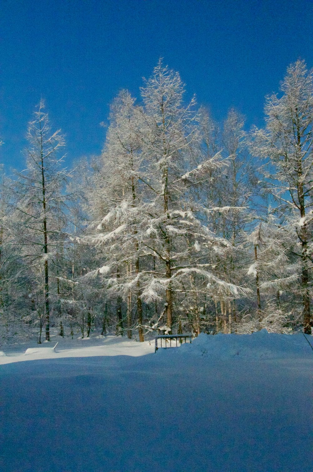Snow covered trees.jpg