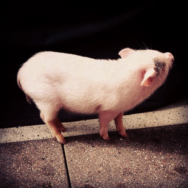 I hung out with this little pig yesterday.