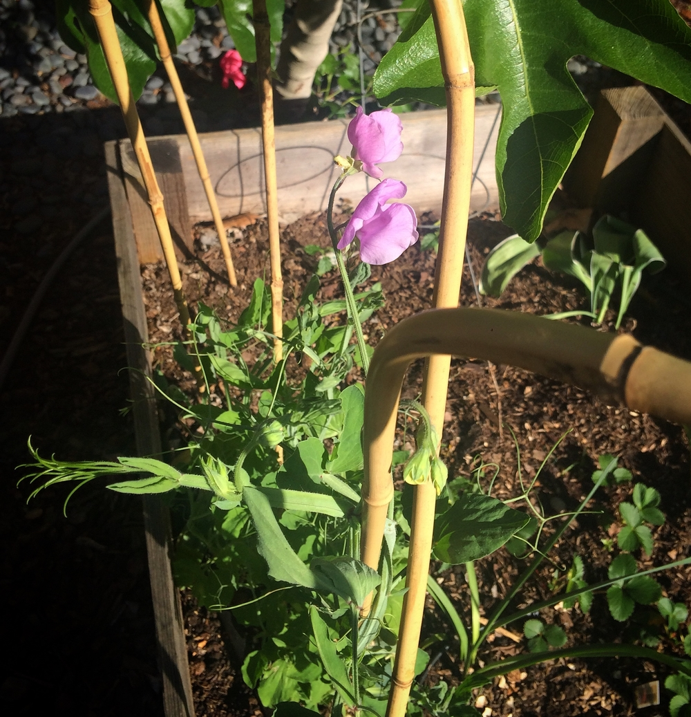 An image of the first sweet pea blossom in our garden this year. Heaven.
