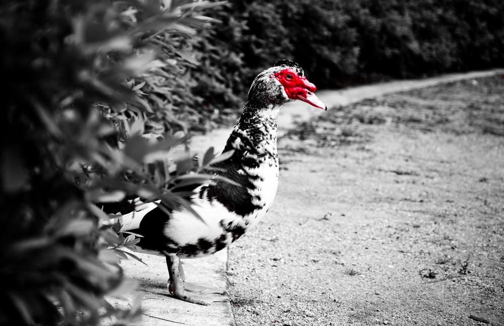 Strange Duck.jpg