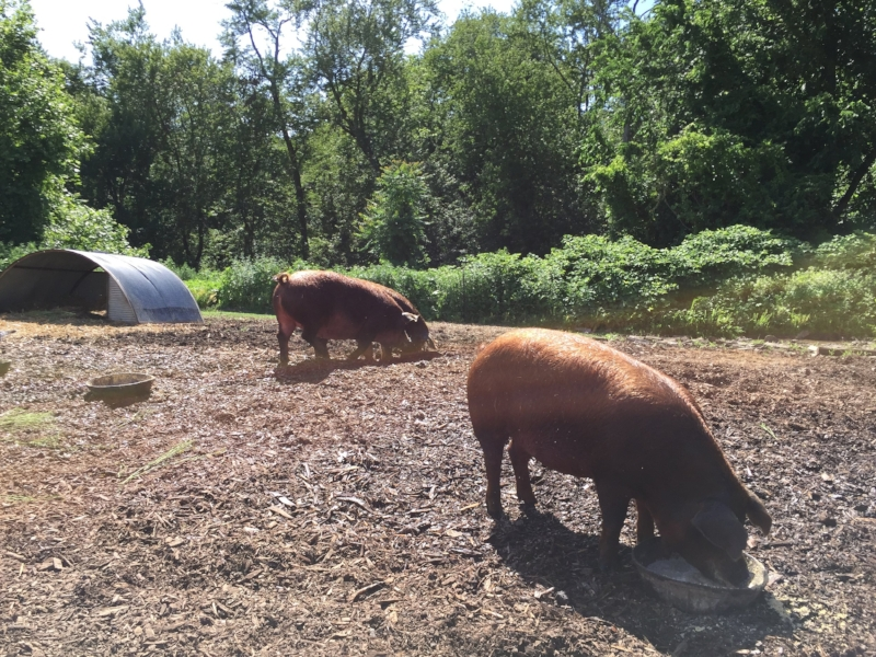 Stone-Barns-Pigs