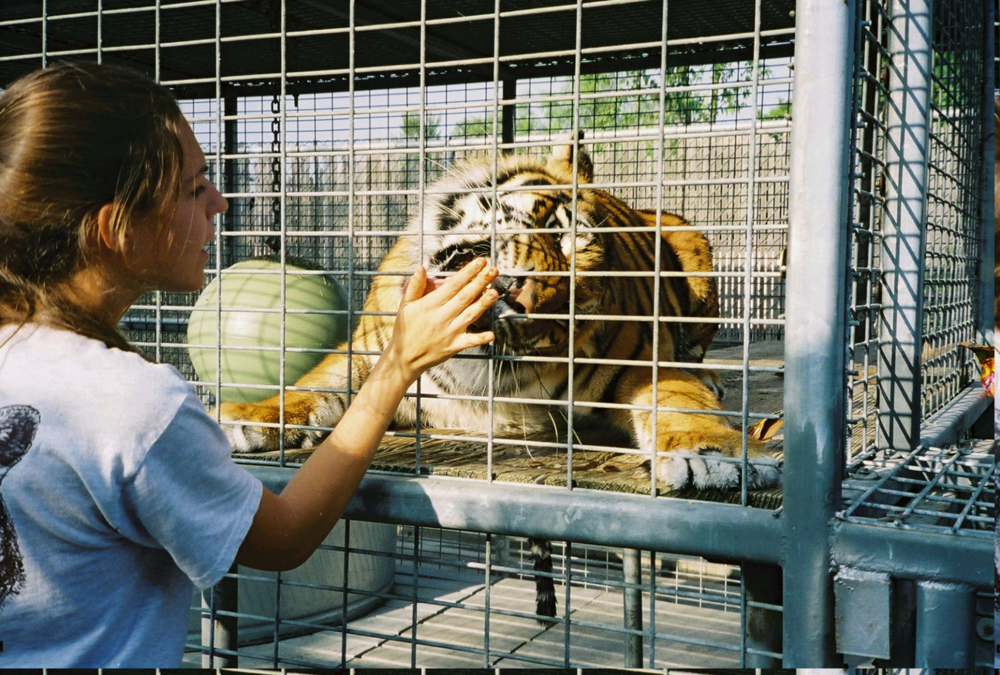 Brittany working with a Bengal tiger.