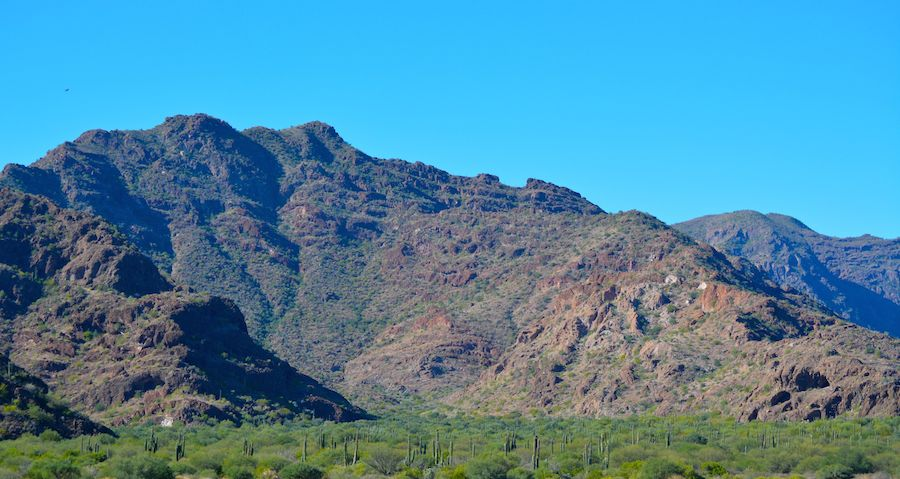 A forest of saguaro cacti.