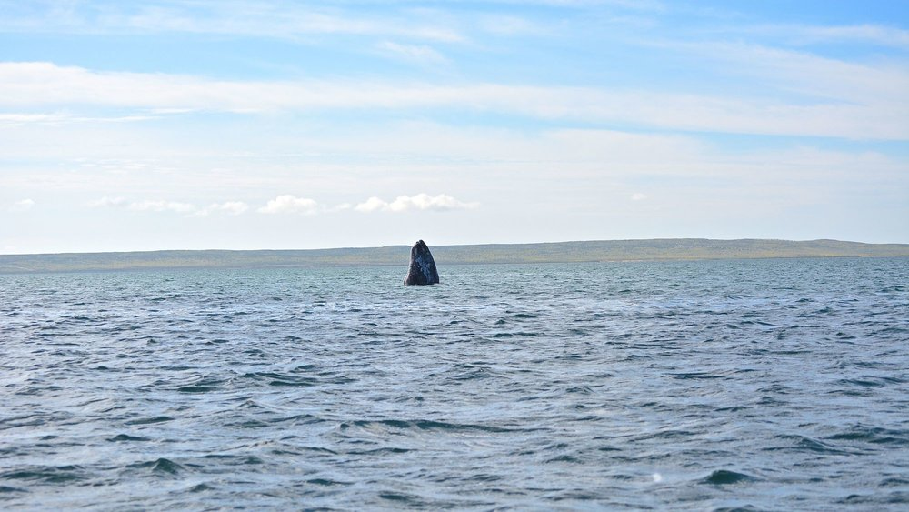 An adult gray whale spy hopping.