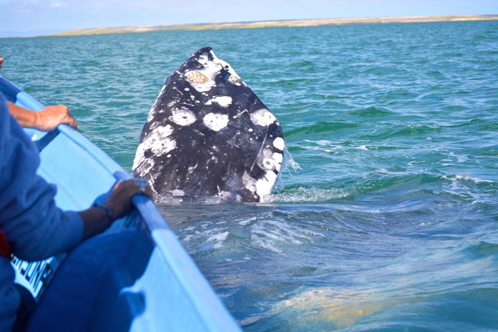 A whale's pectoral fin as she floats next to the boat.