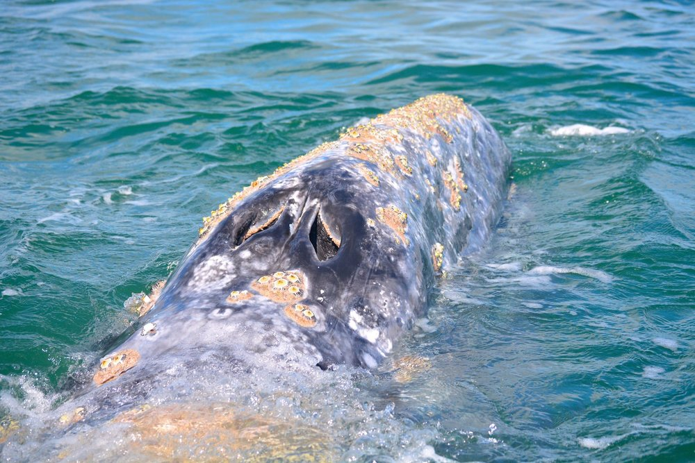 A close up look at an adult whale breathing through her blow hole.