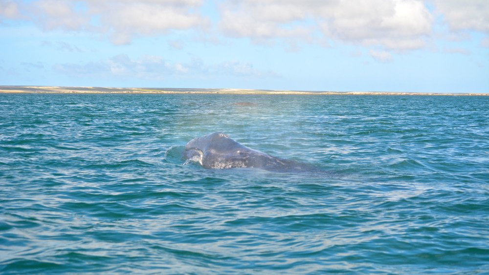 A small whale spouts. This calf was just two weeks old!