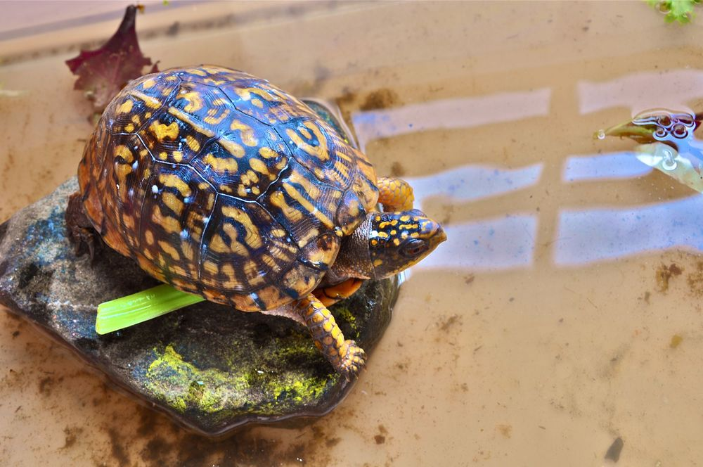 the-newest-additition-to-the-art-barn-the-pet-box-turtle-crumpets.jpg