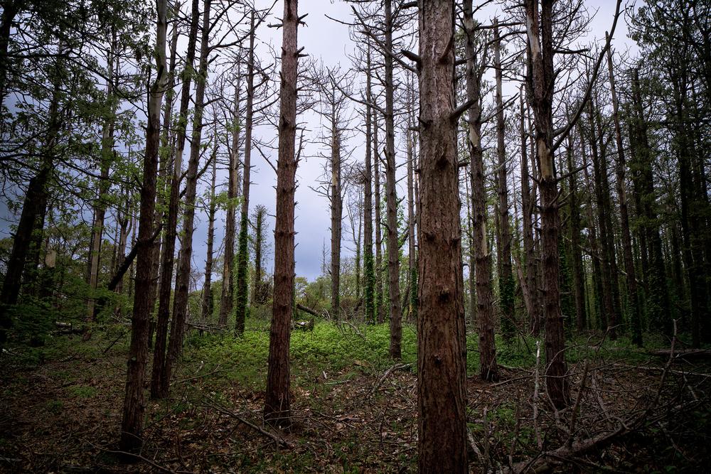 Ceadar_Tree_Dead_Woods_Img_3972-3972.jpg