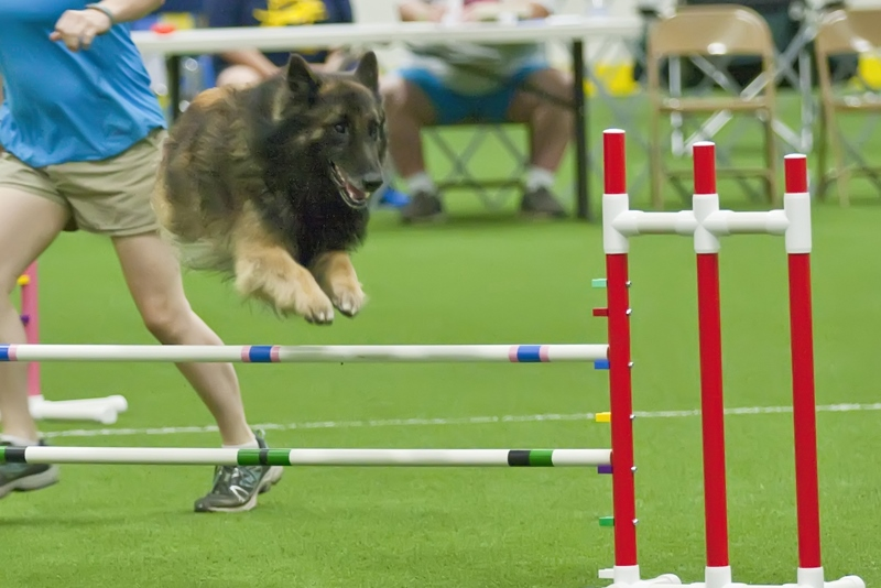 Interested in learning more about dog shows? What about other dog sports? And don't forget the cats!  Here are some upcoming, local events where you can see and learn more!  February 17- 18, 2018: The International Cat Association Cat Show at the   North Carolina Fairgrounds, Raleigh, N.C.  Learn more at:  http://itsticatime.com/showinfo.html   February 24-25, 2018 Barn Hunt at Brylin Obedience Speciality School in King, NC  Watch dogs hunt out rats!  Learn more at: http://brylinschool.com  March 2-4, 2018: 2018 Dixie Deer Classic Dock Diving at the North Carolina Fairgrounds, Raleigh, N.C.   Watch dogs jump into the big pool!  March 17-18, 2018: Autumn Winds Agility Club UKC Agility Trial, New Hill, NC  Watch dogs jump, weave, climb teeters and more!  Learn more at www.ukcdogs.com  March 21-25, 2018: Tarheel Circuit AKC Dog Shows at the North Carolina Fairgrounds, Raleigh, N.C. You can watch conformation, obedience and rally obedience dog shows!  Learn more at:  www.infodog.com   April 20-22, 2018: AKC Agility Trial at Durham Kennel Club  Watch dogs jump, weave, climb teeters and more!  Learn more at http://www.durhamkennelclub.com/agility/trials.html  To find more local events search these organization websites  AKC at  www.akc.org   UKC at  www.ukcdogs.com   Enjoy seeing some different events that dogs and cats participate in!  Boo Donoho, DVM  #southernanimalhospital
