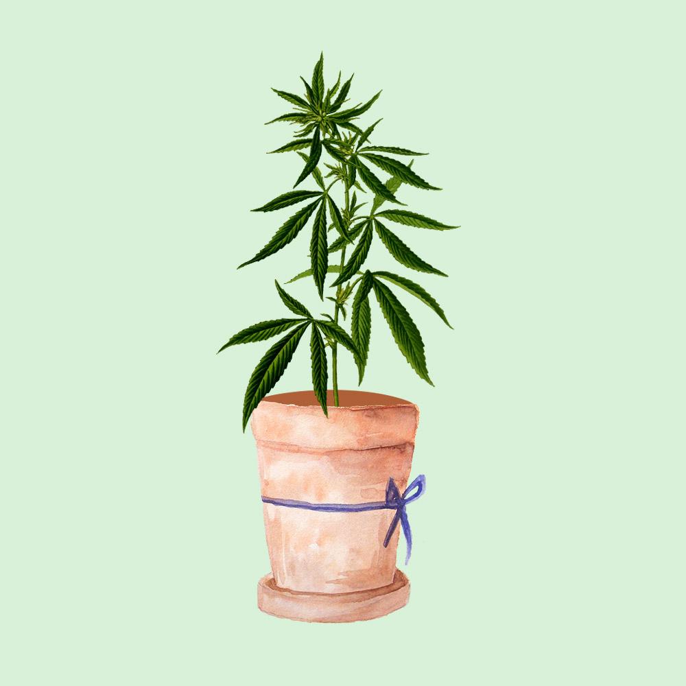 CannabisSativaPlant.jpg