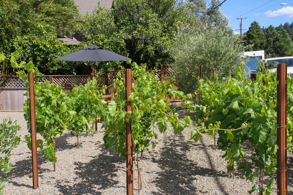 Hobby vineyard.