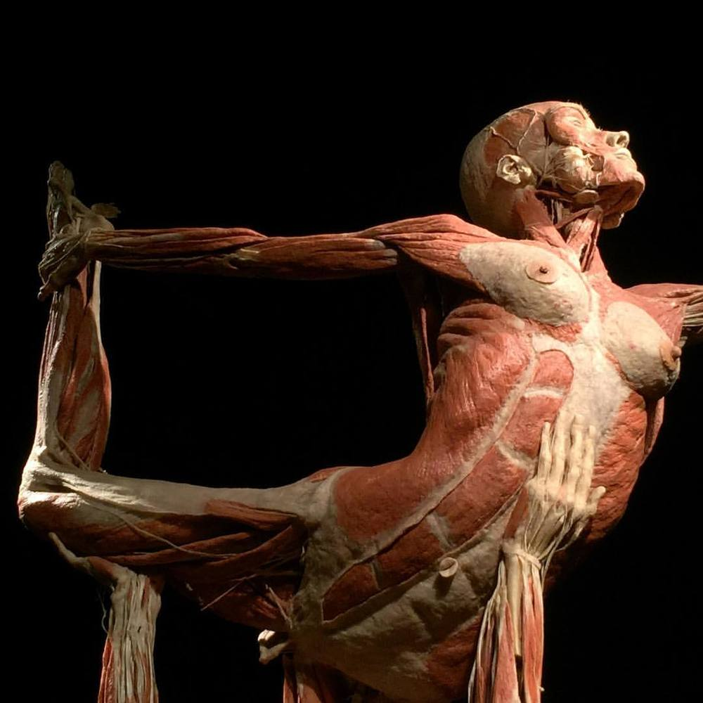 A plastinate from the  BODY WORLD  S & The Cycle of Life  exhibit at Union Station.