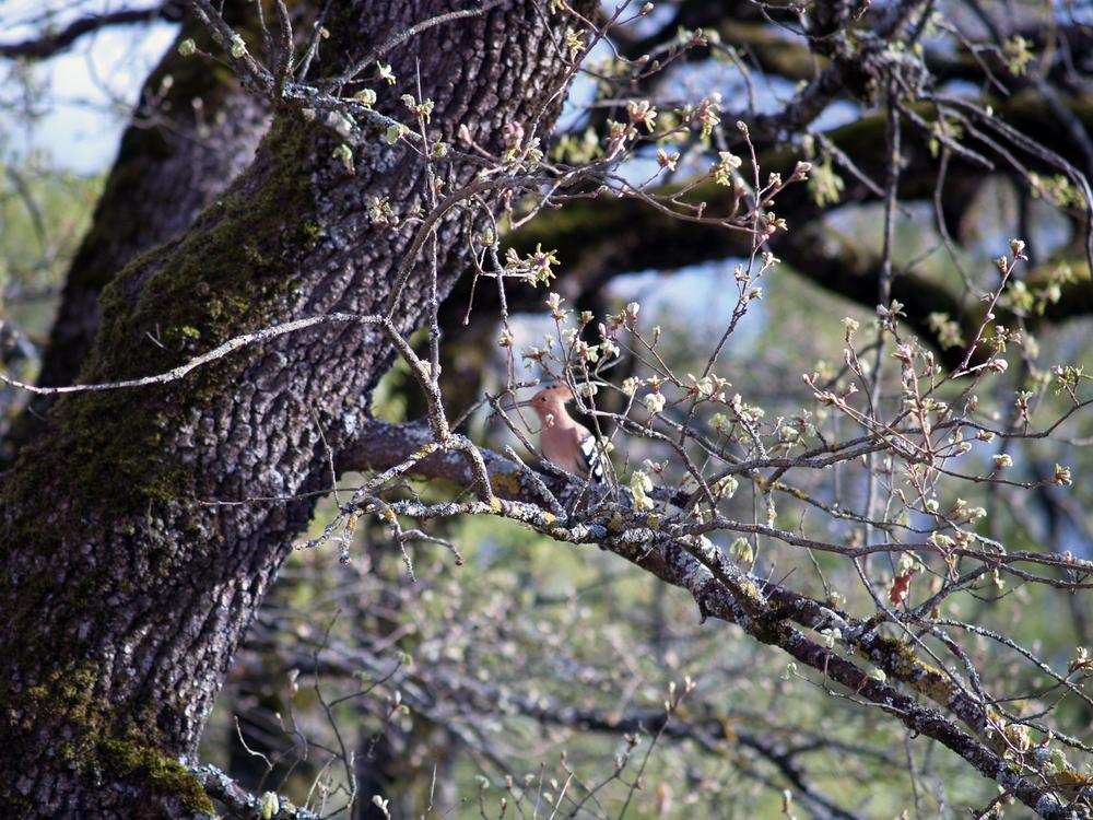 Un couple de huppes fasciées a élu son nid d'amour dans un chêne