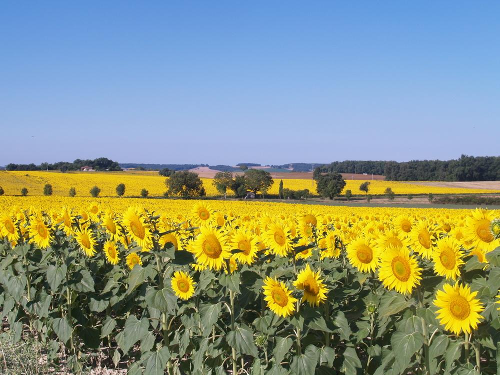 Fin juillet, aux alentours de A Labourdette, la campagne se pare de champs de tournesols