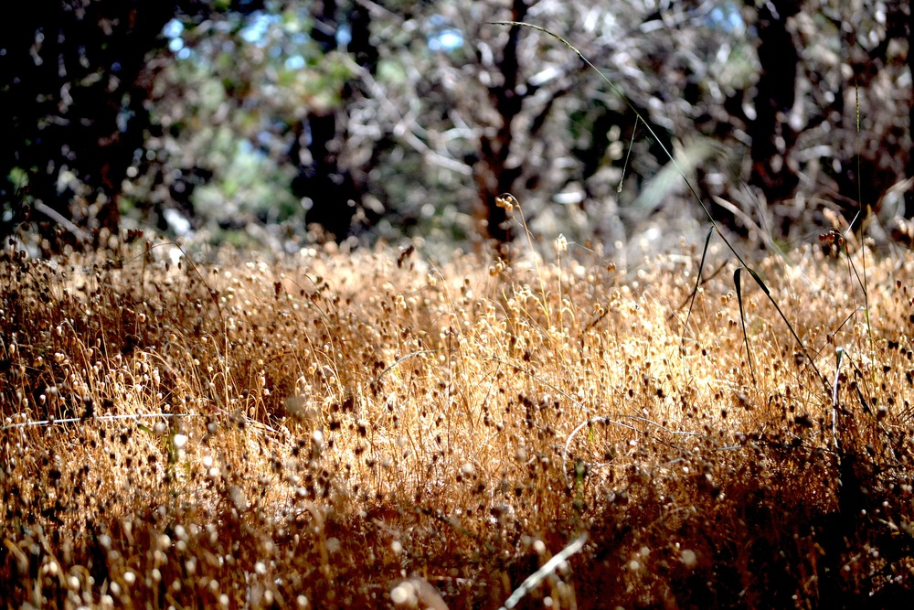 Grasses along the San Simeon Trail