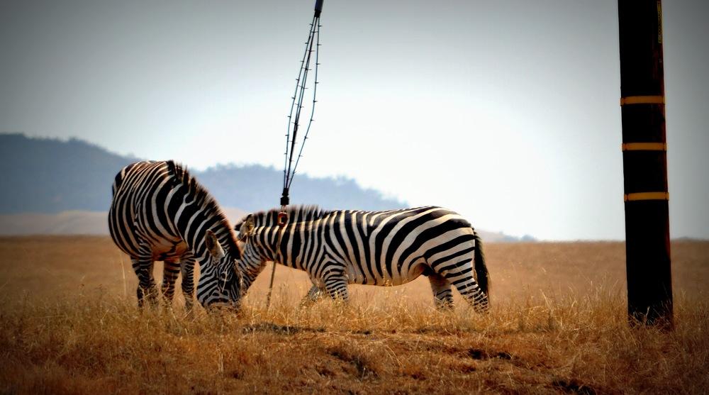 zebras-san-simeon-2.jpg