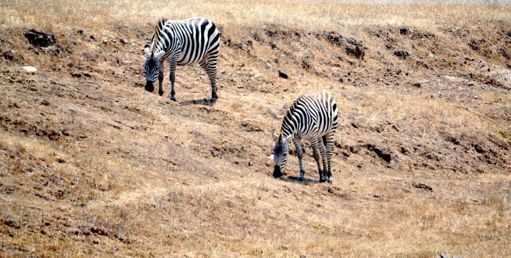 zebras san simeon
