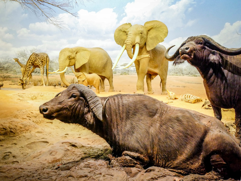The water buffalo and African elephants