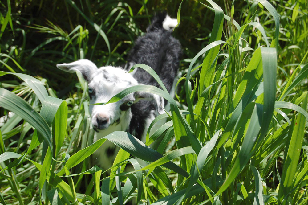 goat-in-grass_sm.jpg