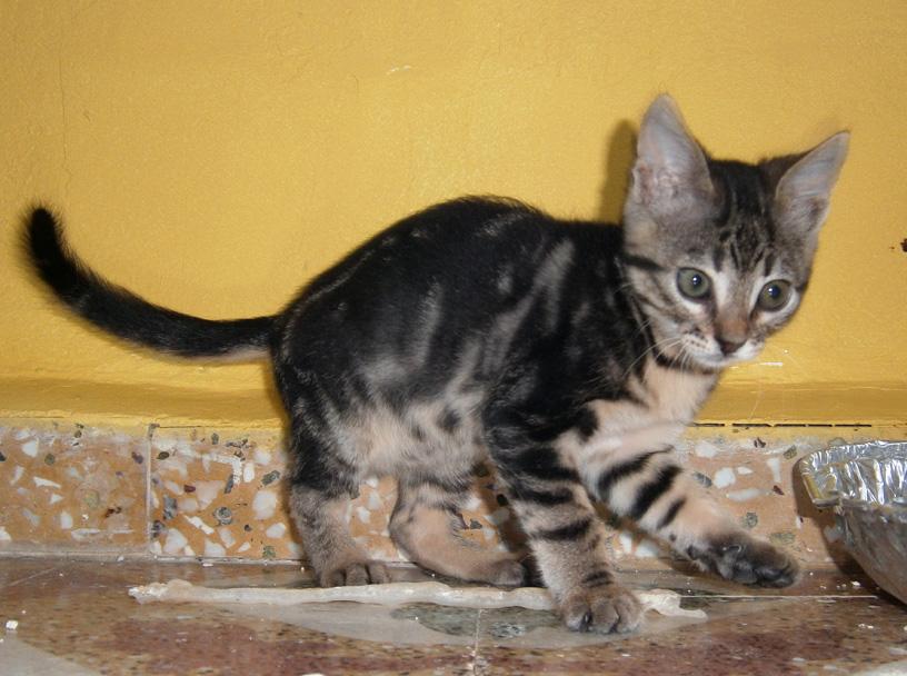 Lacta as a kitten