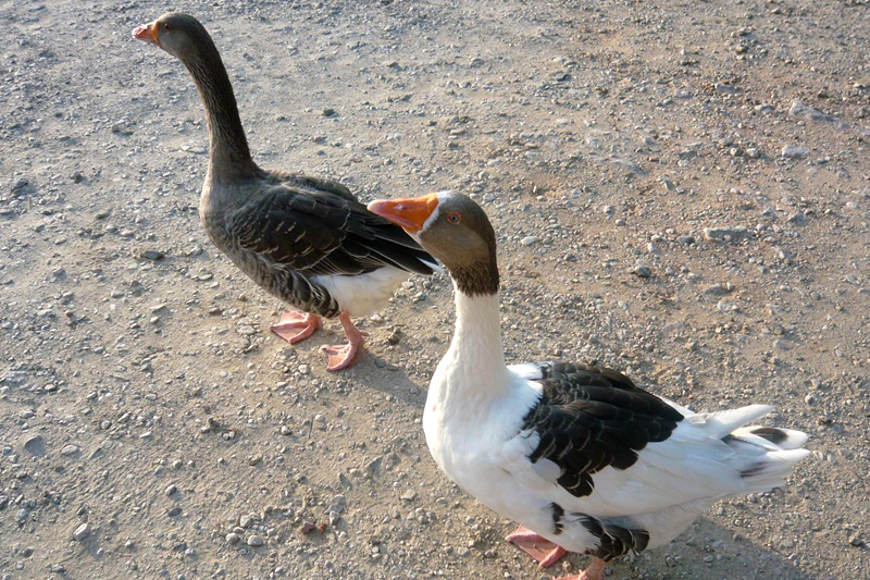 Gooses_sm.jpg