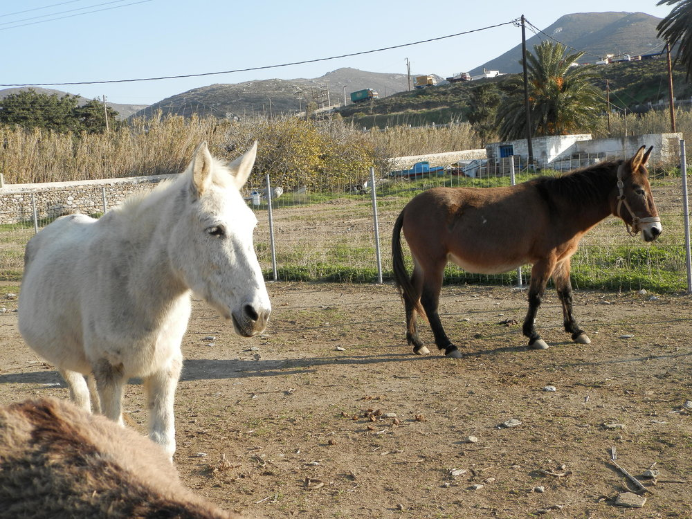 Meropi, the white mule, and Mona, the brown mule