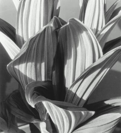 Glacial Lily (False Hellebore) by Imogen Cunningham