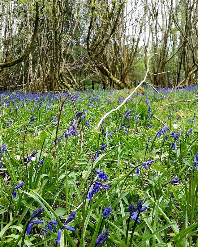 Stop off on our boat trip to a beautiful woodland covered with bluebells #crom #woodland #bluebells #wildflowers #northernireland #spring #fermanagh