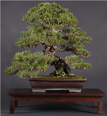 Cork Bark Japanese Black Pine (Bonsai Boon)