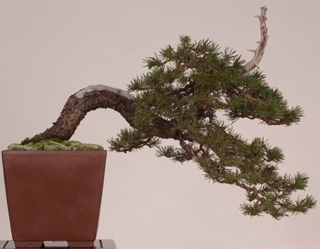 2006 Lodgepole Pine shown at the 2006 Bay Island Bonsai Club show.