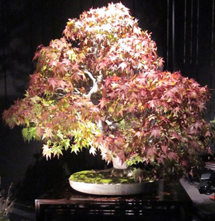 Japanese Maple – Dennis Vojtilla