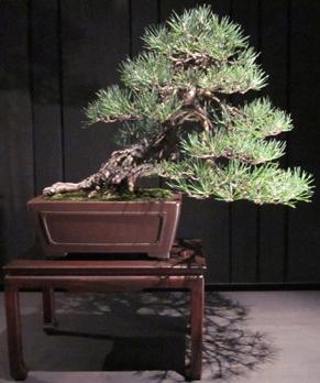 Scots Pine – Eileen Knox