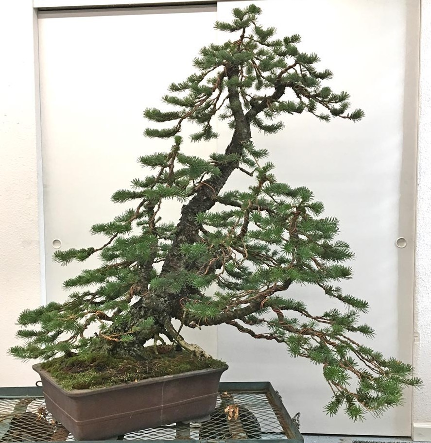 Bonsai Wiring Lesson Society Of Portland Scotts Branch Tips Tree After Styling In 2017