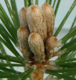 Black pine apex buds