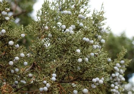 Foliage of Utah Juniper with berries