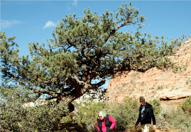 Zion Pinyon 2 – Perfect bonsai inspiration in a Pinyon.