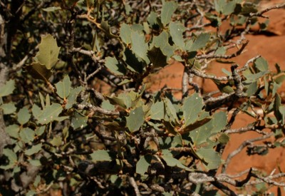 Live Oak – Foliage of a small Live Oak, unknown variety.
