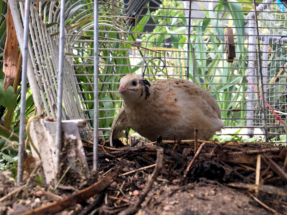 One of our four quail in its enclosure made from recycled bird cages linked together.
