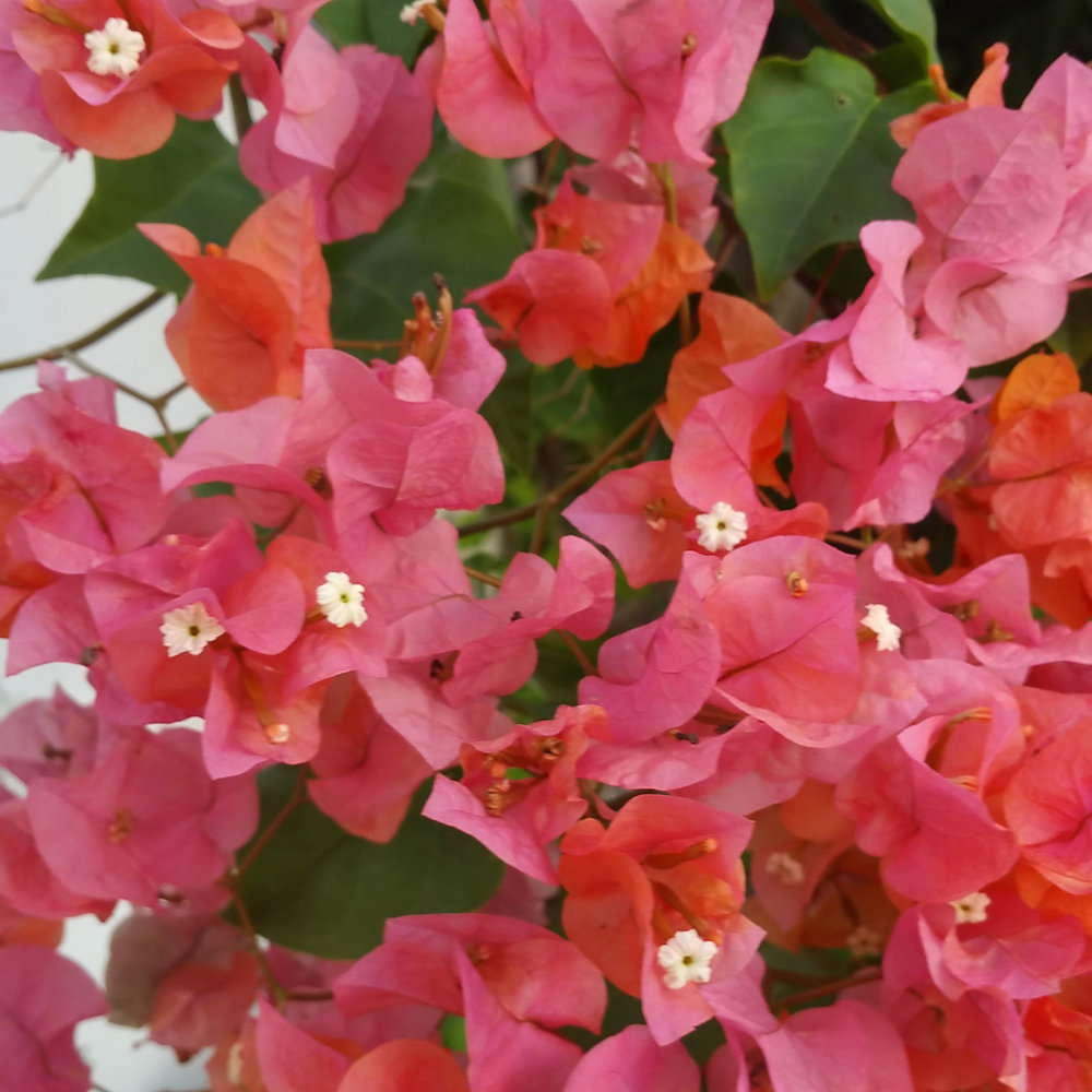 Bougainvillea is slowly taking back the grounds