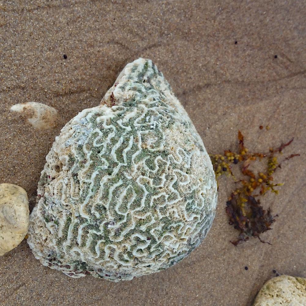 Coral specimen from   Bathsheba   Beach