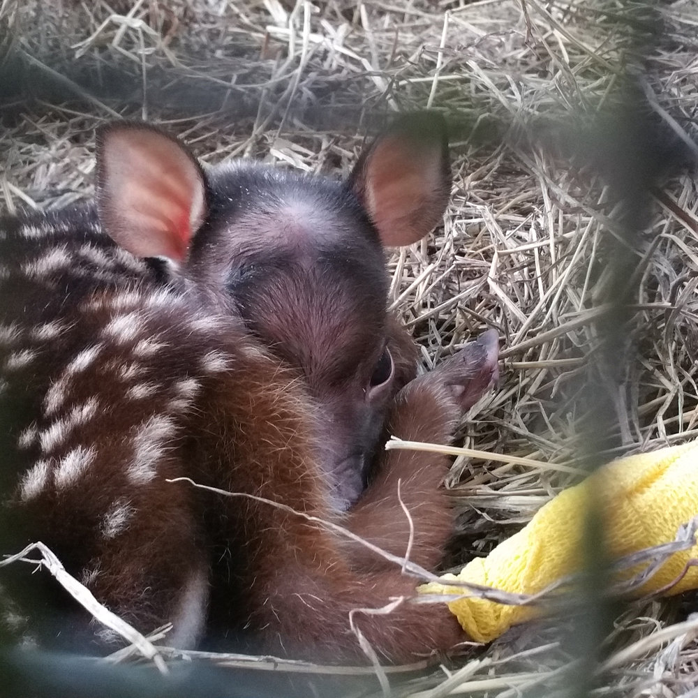 Brocket Deer Fawn with a bandaged foot at the Wildlife Reserve