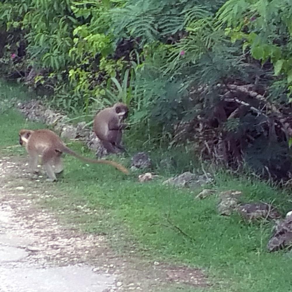 Green Monkeys pilfering from the banana farmers