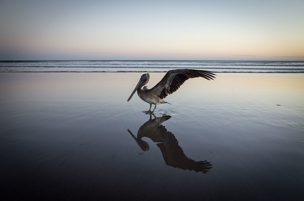 A one-winged pelican takes an evening dip in the surf along the coast near El Cuco, El Salvador.  Albert is one of two injured brown pelican residents at the La Tortuga Verde resort in Playa Esteron.