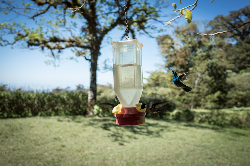 Hummingbirds feed on sugar water at the Curi Cancha Reserve in Monteverde, Costa Rica.  These represent three of the twenty-four difference species of hummingbirds in the park, which was originally founded by Alabama Quakers fleeing mandatory enlistment during the Korean War.