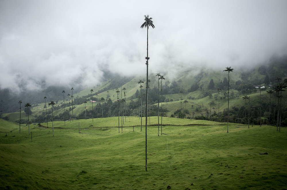Wax palms in the Cocora Valley in Colombia's central coffee region can reach heights of 60m (200ft).