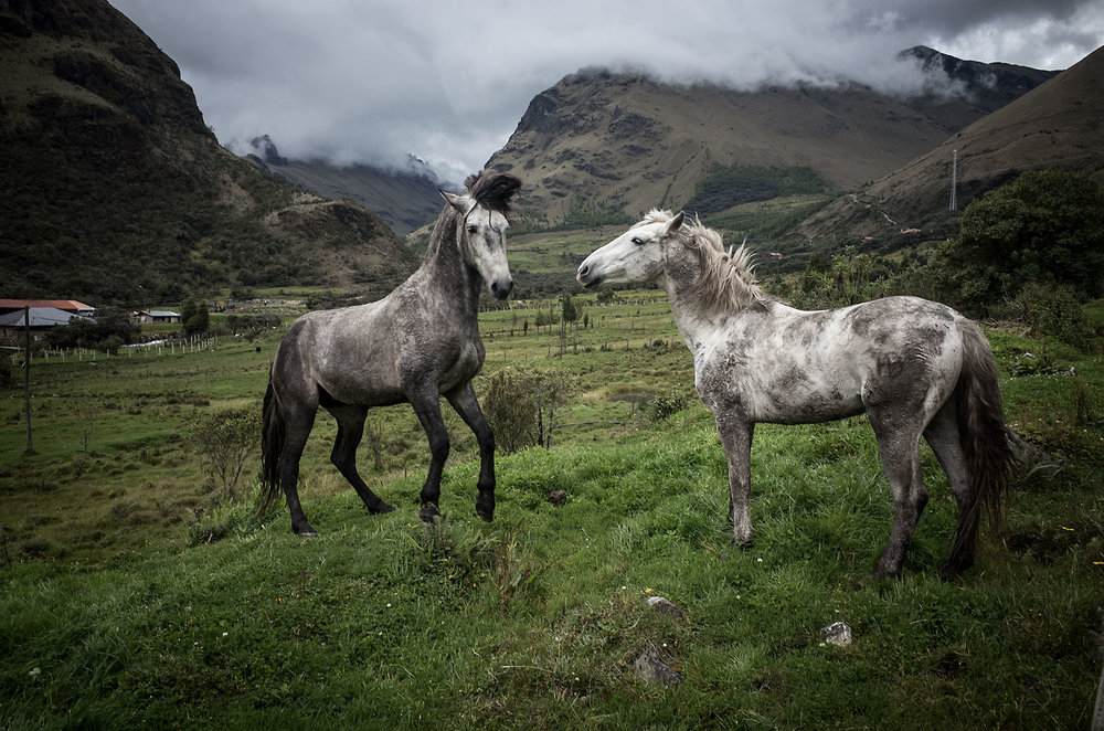 Mares on a finca in Cajas National Park near Cuenca,Ecuador.
