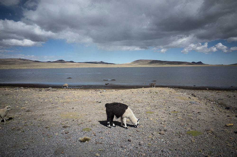 A black and white alpaca picks at moss near the shore of a lake in the Peruvian altiplano, 4600m above sea level.