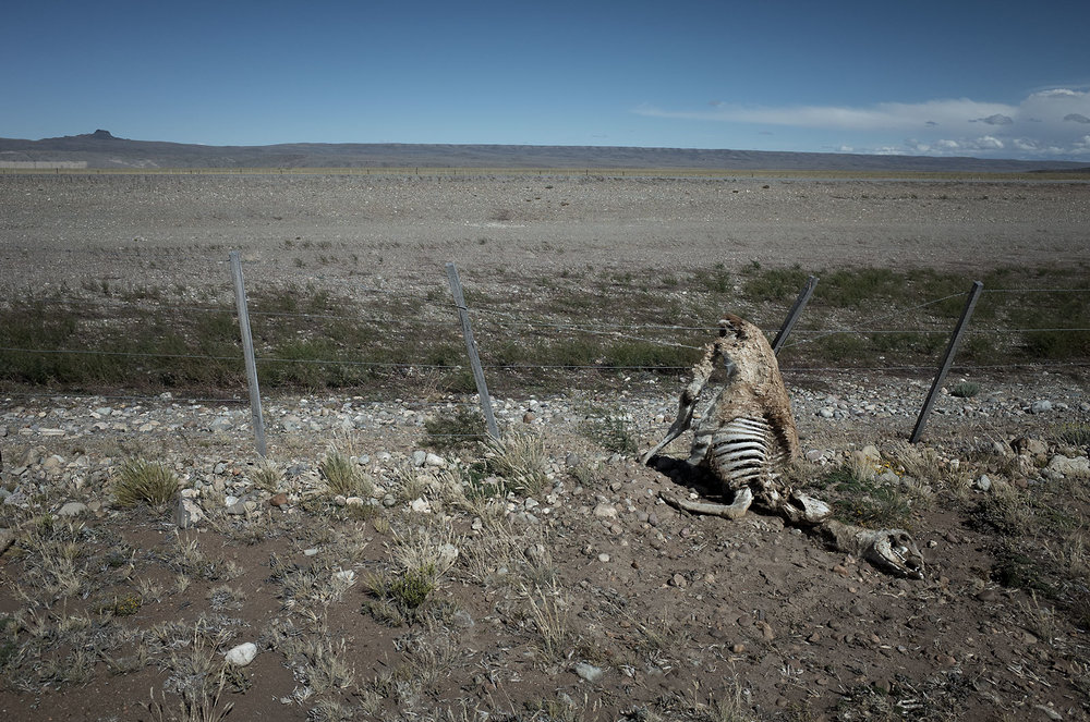 A remains of a guanaco that was caught in barbed wire fencing along RN40 in southern Argentina.  Normally, with a running start wild guanacos can leap the 4-foot fence that runs along large sections of the highway.