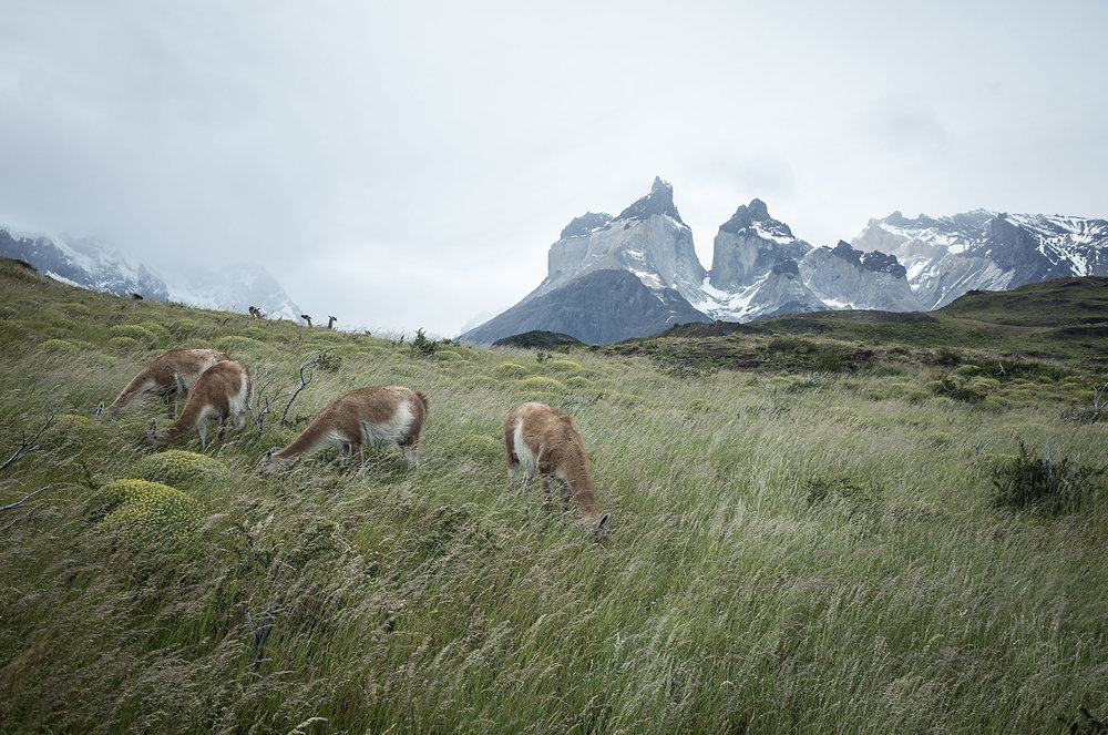 Guanacos feed on the tall grass along the trail to Los Cuernos viewpoint in Torres del Paine National Park.